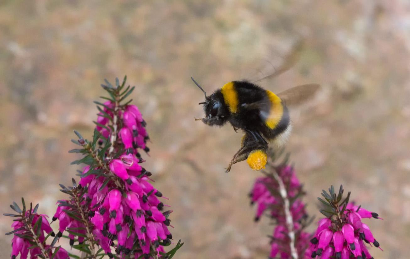 Erdhummelkönigin mit Pollenhöschen fliegt Winterheide an