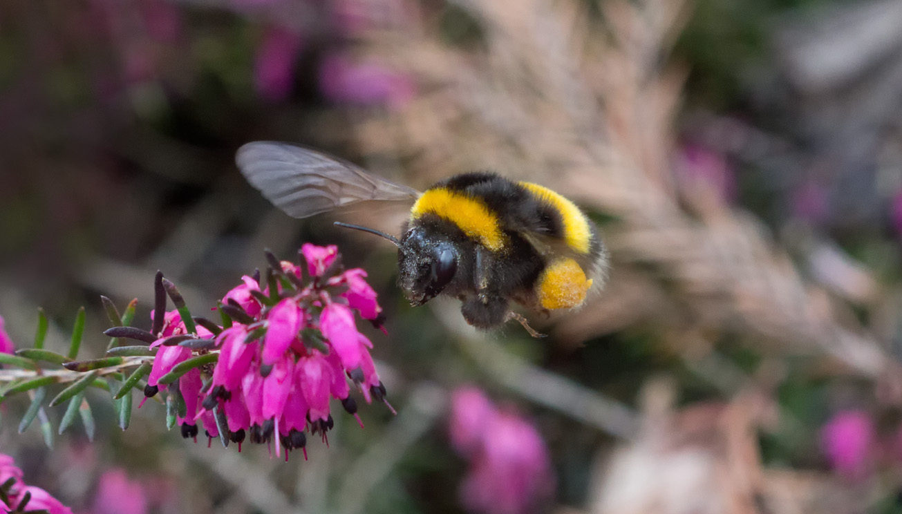 Dunkle Erdhummelkönigin sammelt Pollen an Erica