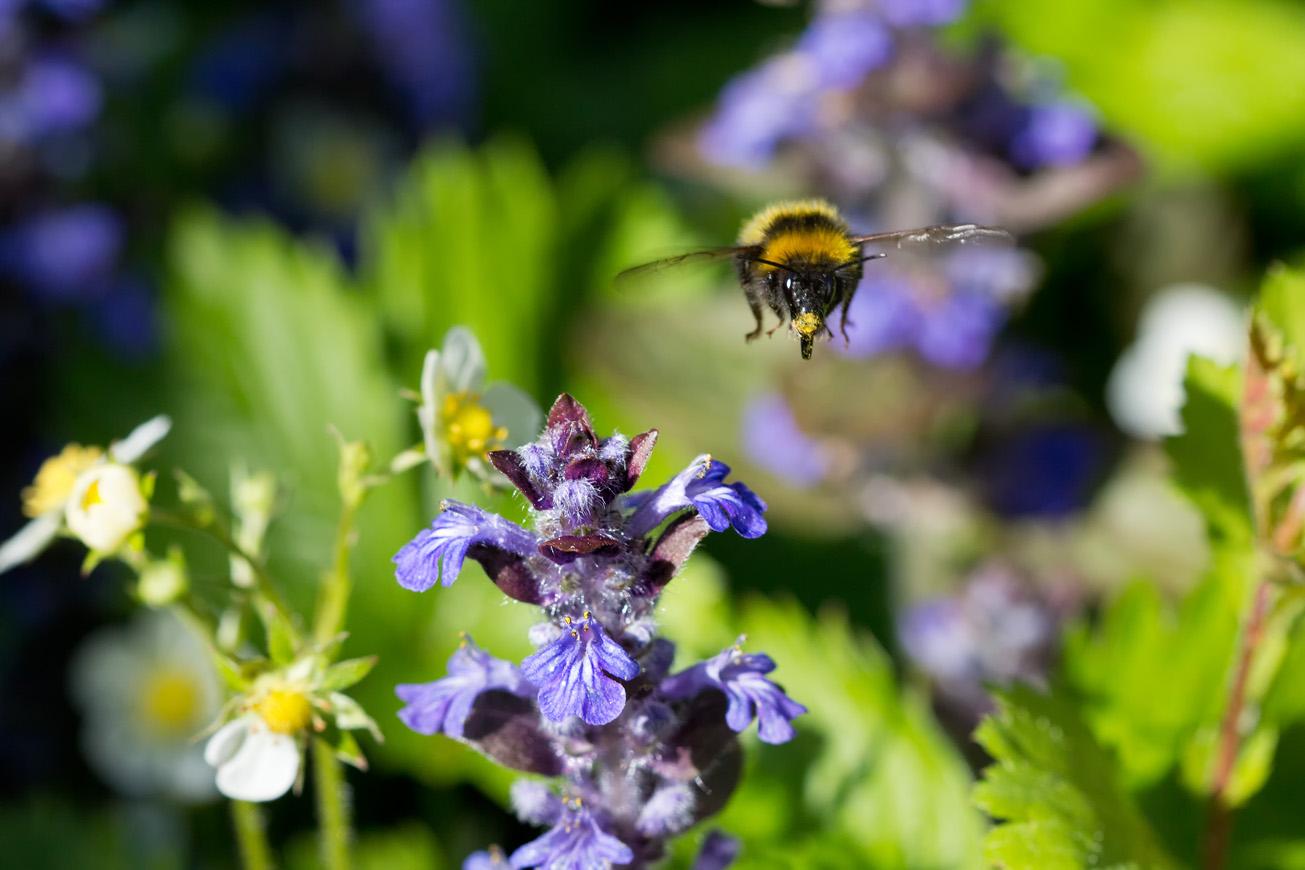 Gartenhummedrohn fliegt Kriechenden Günsel an