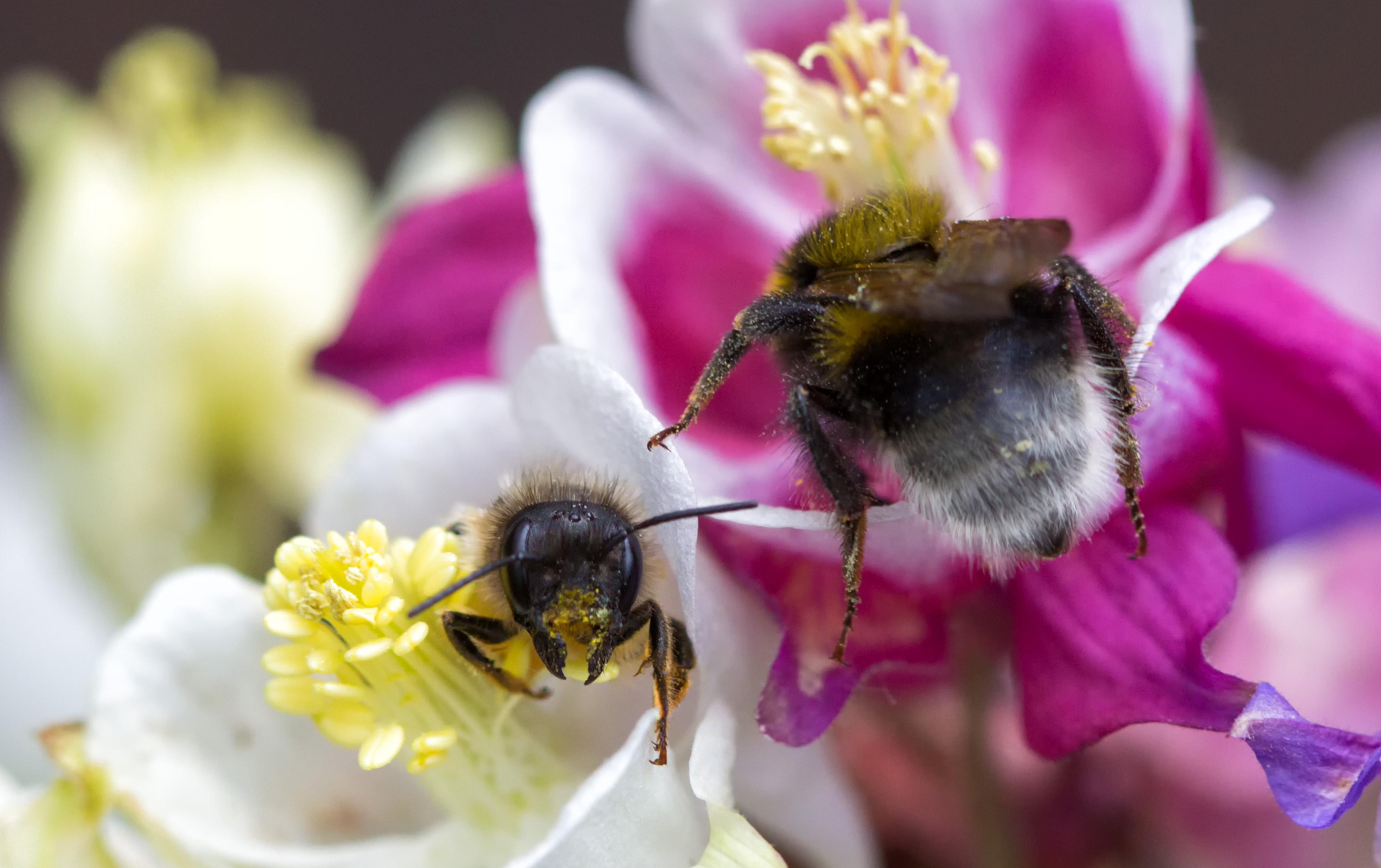 Wildbiene und Gartenhummelarbeiterin gemeinsam in Akelei, 9. Mai 2014