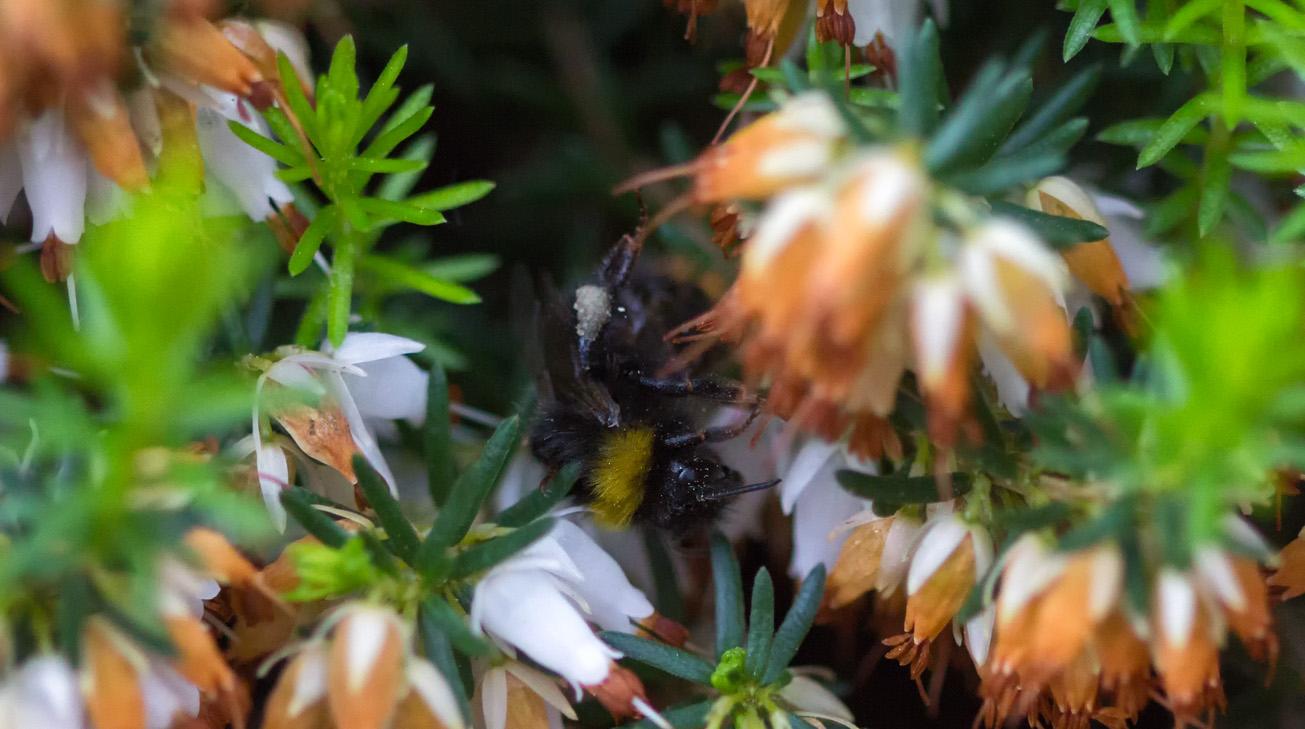 Wiesenhummelarbeitin mit Pollenhöschen, 9. Mai 2014