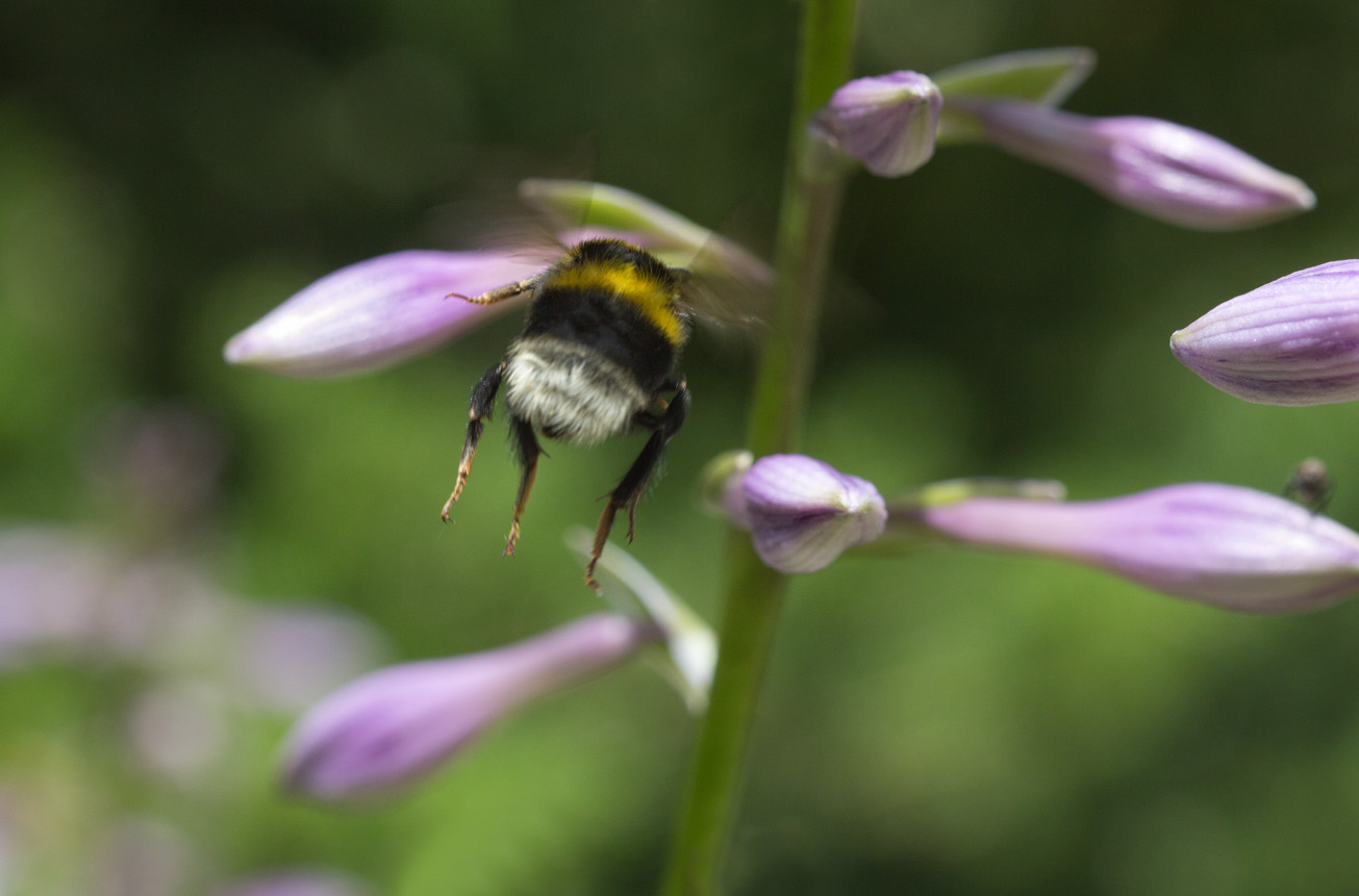 Gartenhummel fliegt Blüten der Funkie an, 25. Juni 2014