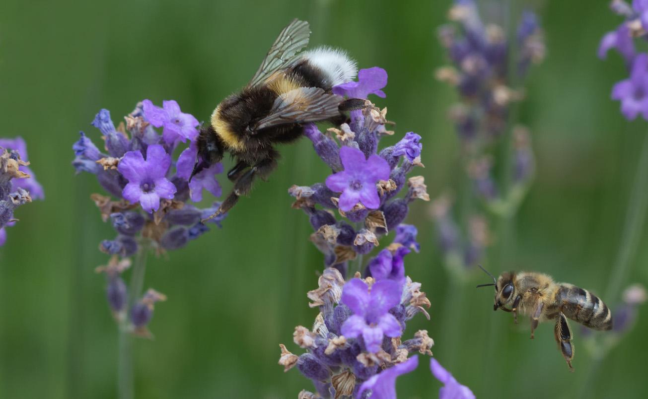 Dunkle Erdhummel und Honigbiene im Lavendel, 7. Juli 2014