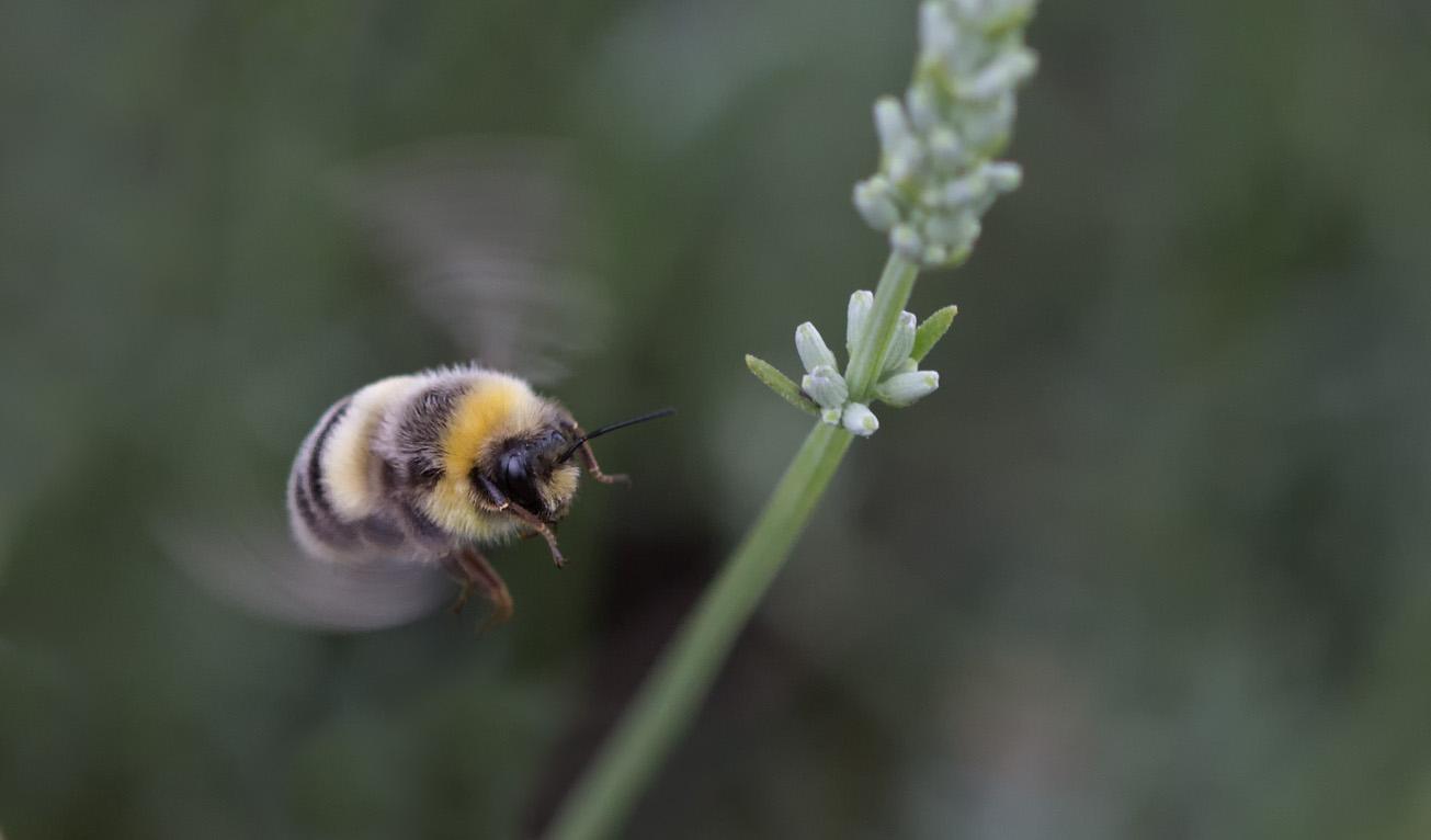 Erdhummeldrohn fliegt Blüte des Weißen Lavendels an, 04. August 2014