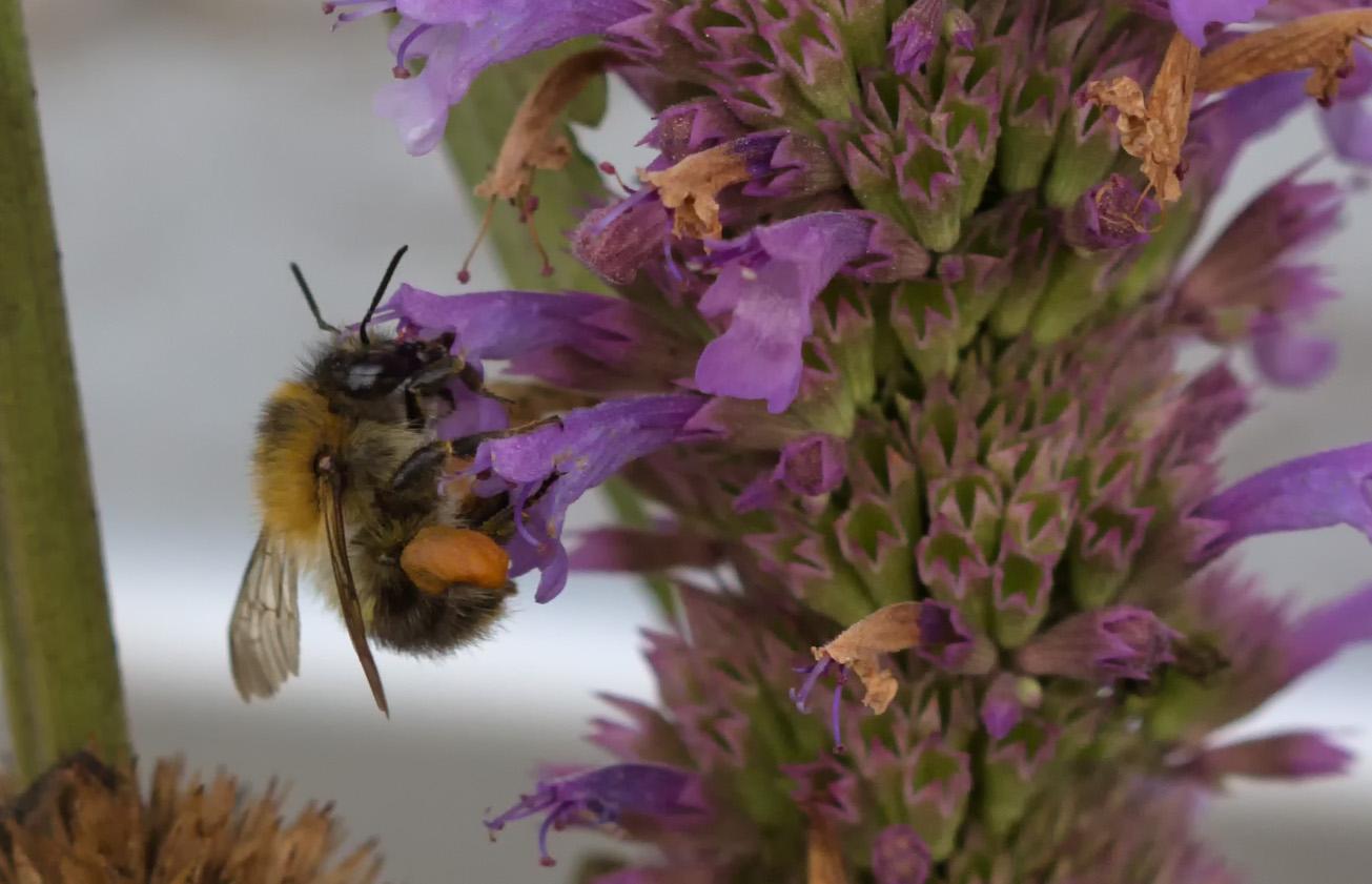 Ackerhummelarbeiterin sammelt Pollen in Bergminze, 5. August 2014