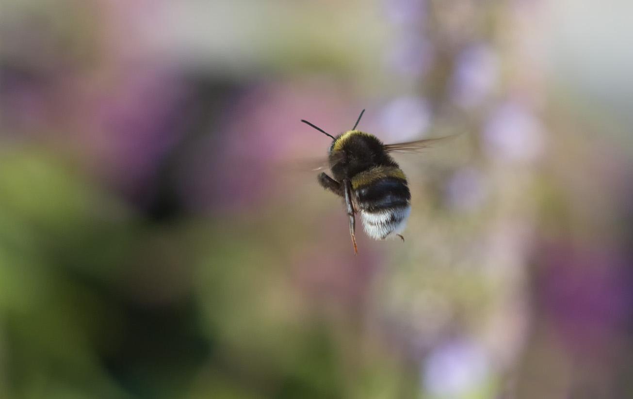 Erdhummel fliegt von Agastache ab, 28. August 2014