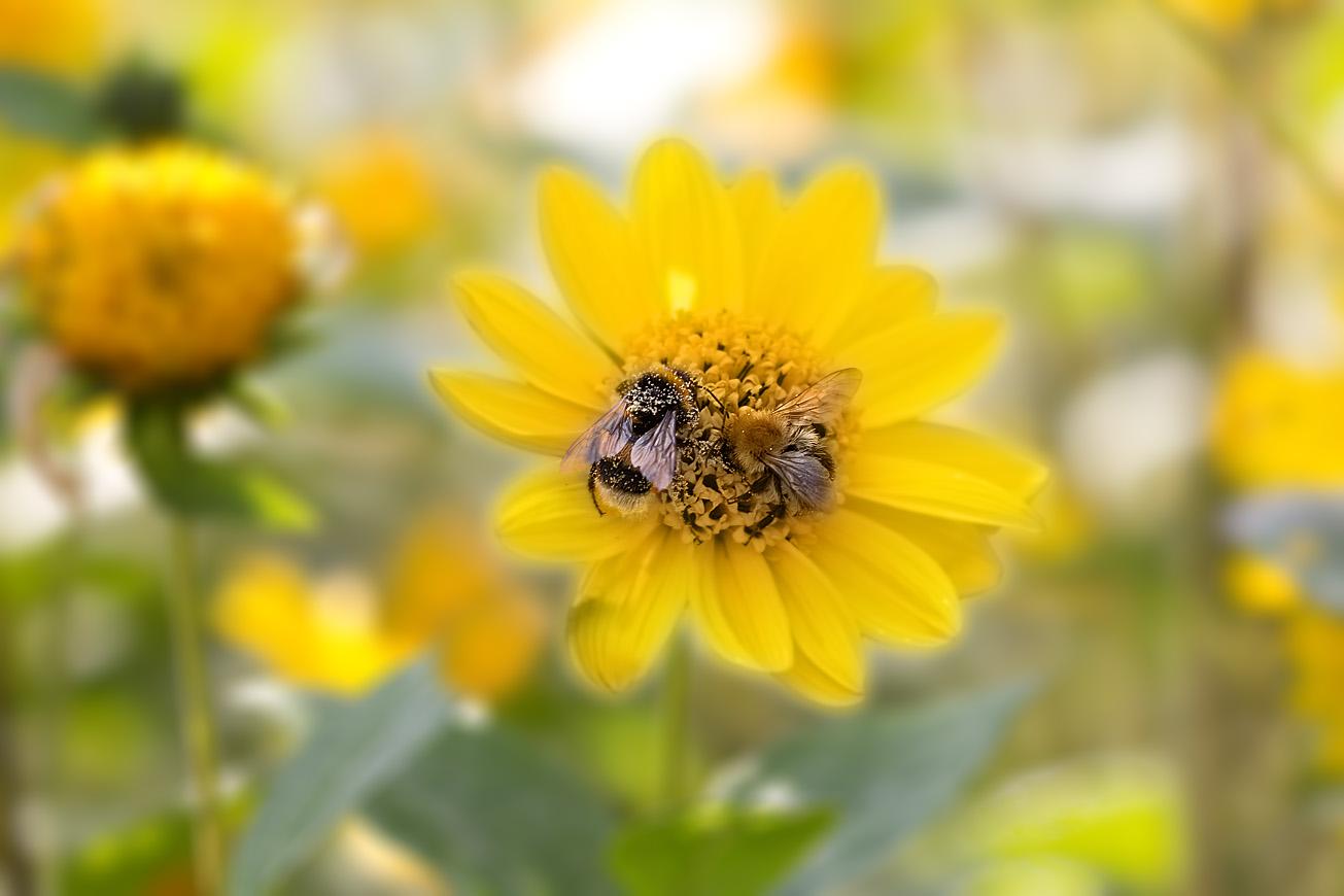 Erd- und Ackerhummeln gemeinsam in Sonnenblumenblüte, 28. August 2014