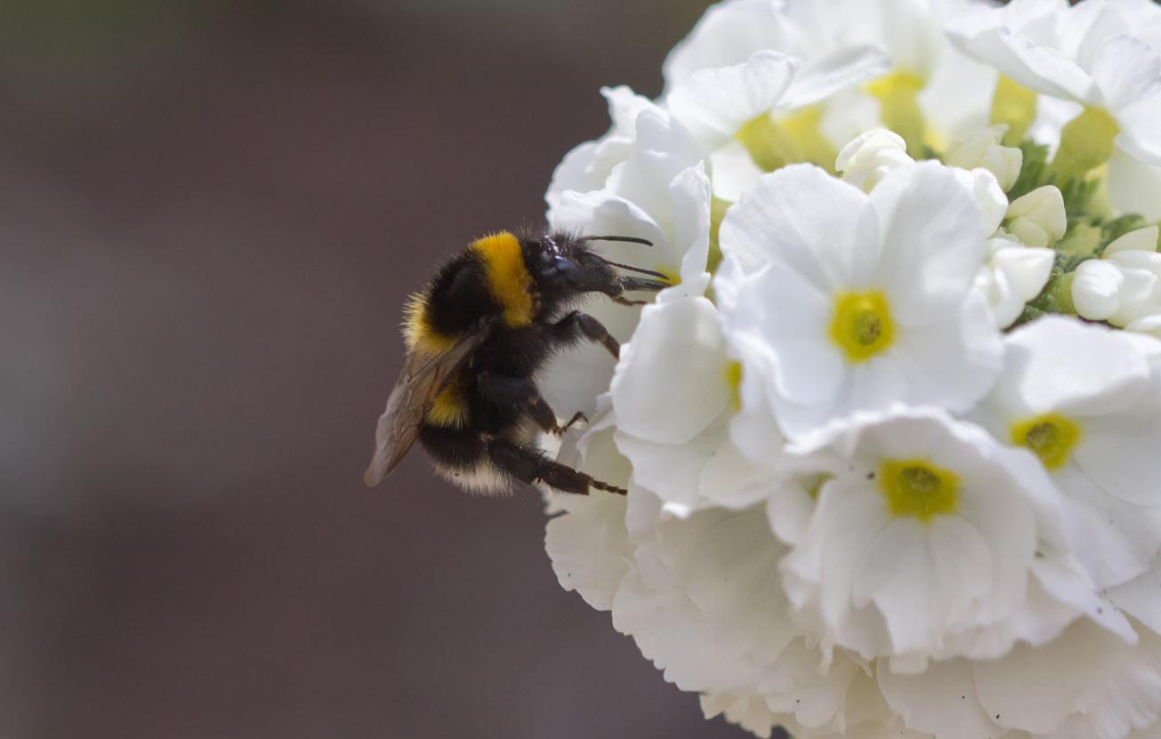 Gartenhummelkönigin an Blüte der Kugelprimel, 4. April 2015