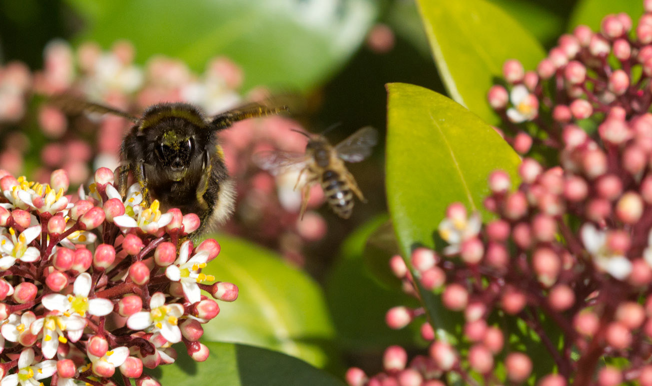 Königin der Dunklen Erdhummel droht kleiner Wildbiene, 9. April 2015