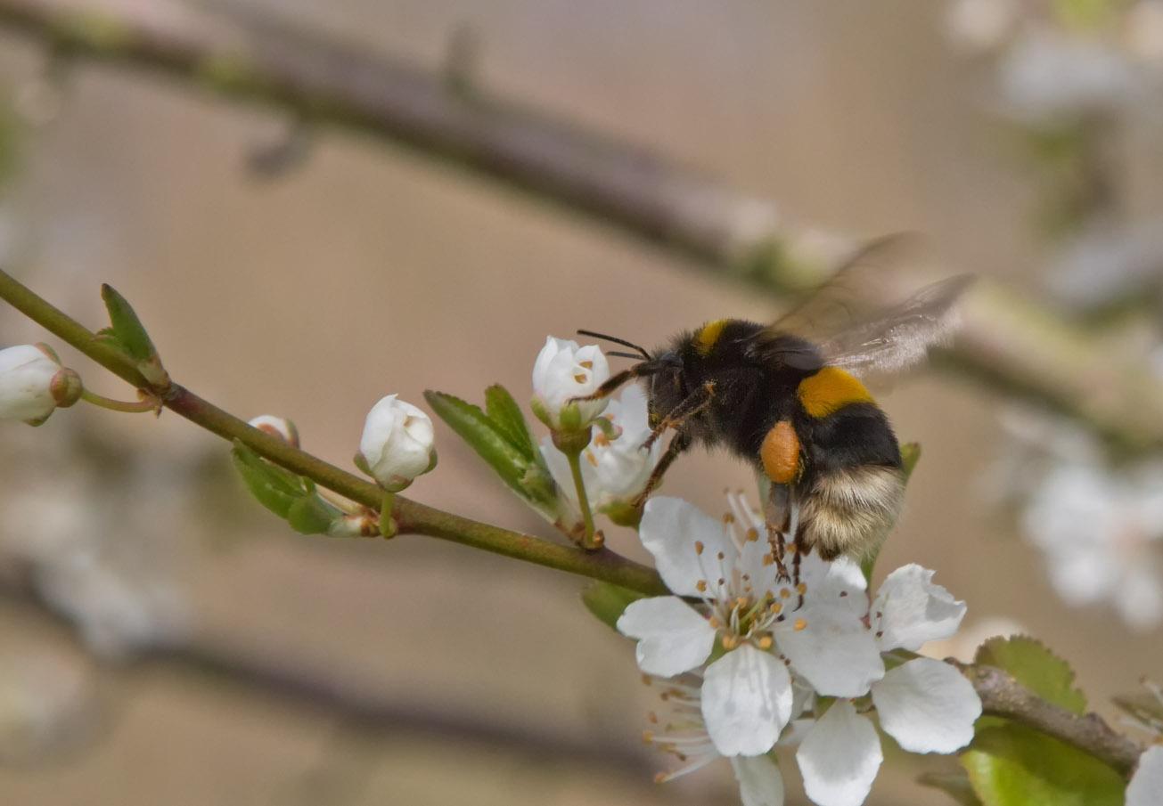 Königin der Dunklen Erdhummel sammelt Pollen in einer Mirabelle, 13. April 2015