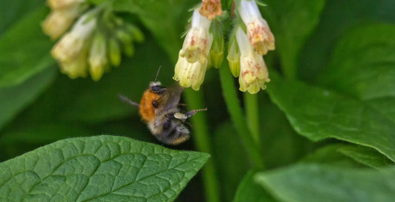Pollensammelnde Ackerhummle an Beinwell-Blüte, 3. Mai 2015