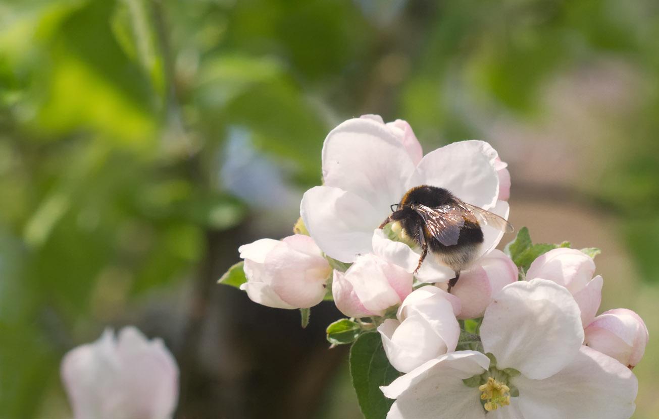 Dunkle Erdhummel in Blüten eines Apfelbaumes, 3. Mai 2015