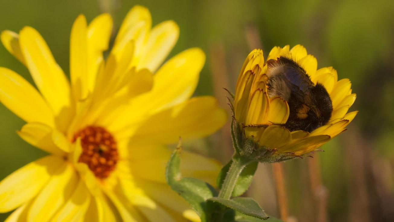 Jungkönigin der Dunklen Erdhummel (Bombus terrestris) in Blüte der Ringelblume (Calendula officinalis), 1. November 2015