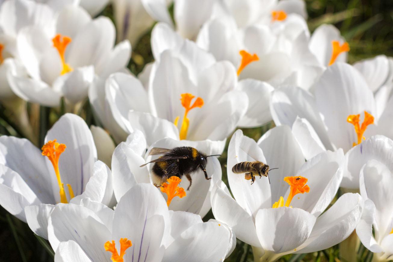 Erdhummelkönigin und Honigbiene gemeinsam in Krokusblüten, 17. März 2016