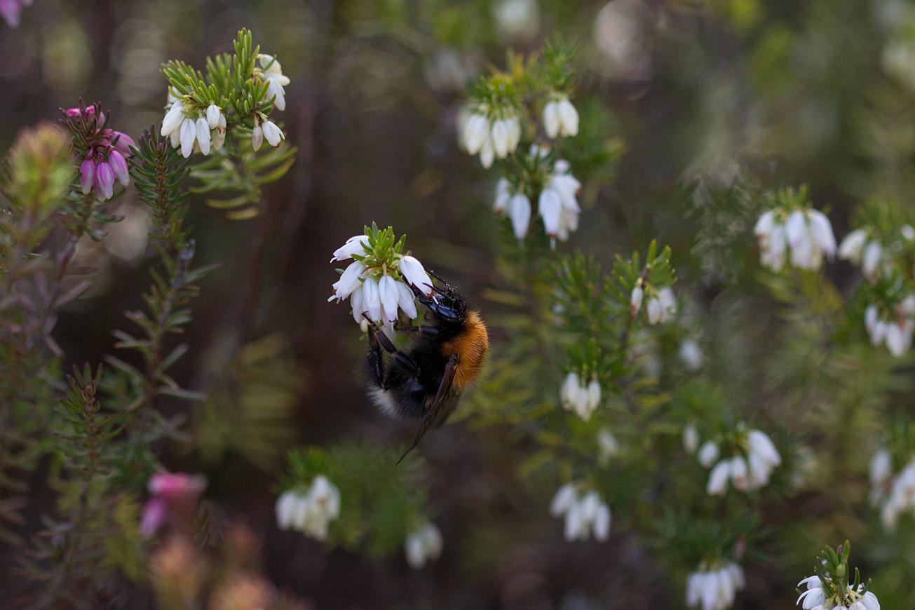 Königin der Baumhummel (Bombus hypnorum) in Winterheide (Erica carnea), 12. März 2017