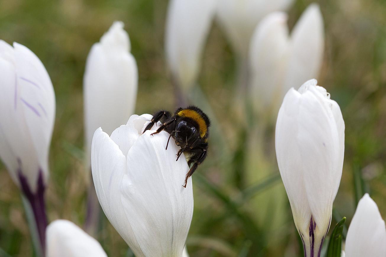 Erdhummelkönigin (Bombus terrestris) auf Blüte des Weißen Krokus, 10 März 2017