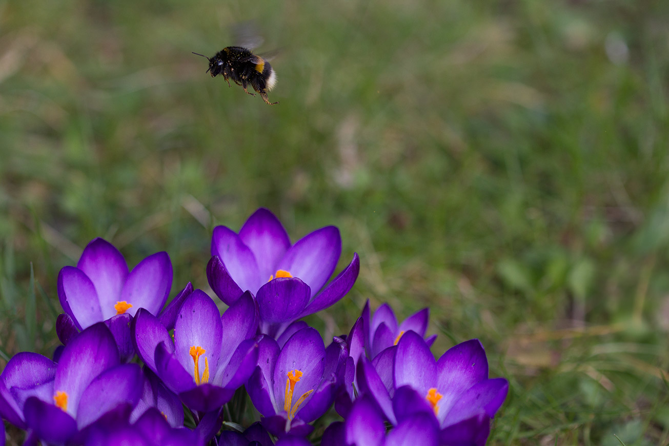 Erdhummelkönigin (Bombus terrestris) im Anflug auf Krokus, 11. März 2017