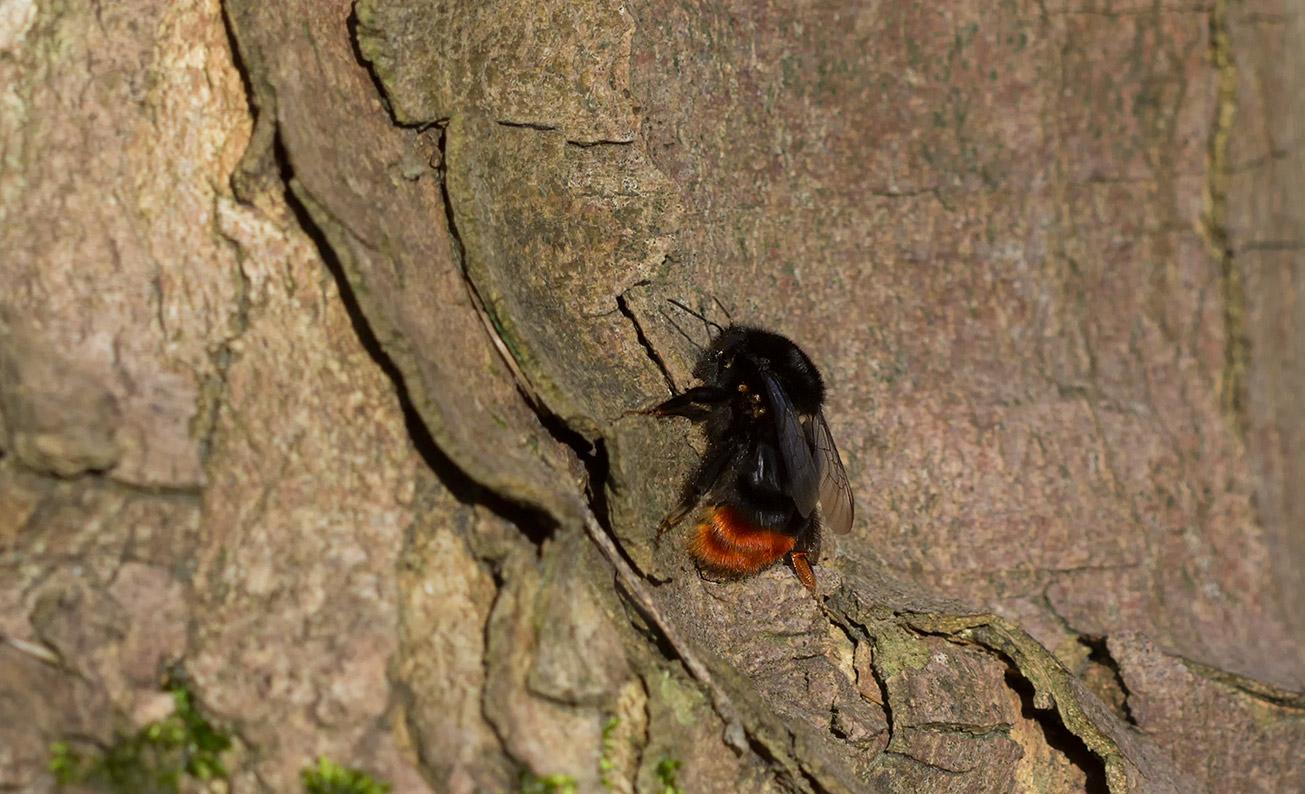 Seinhummelkönigin (Bombus lapidarius) klettert im Wald einen Baum hoch, 26. März 2017
