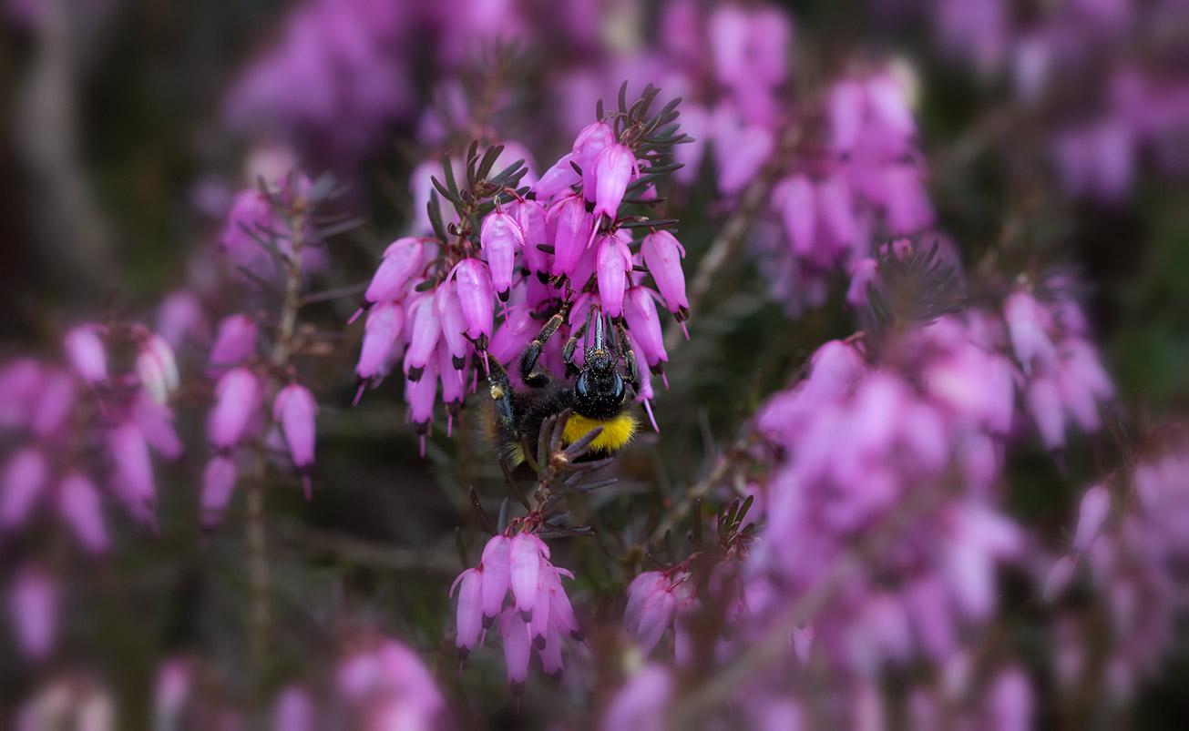 Wiesenhummelkönigin (Bombus pratorum) sammelt Pollen in Winterheide (Erica carnea), 23. März 2017.