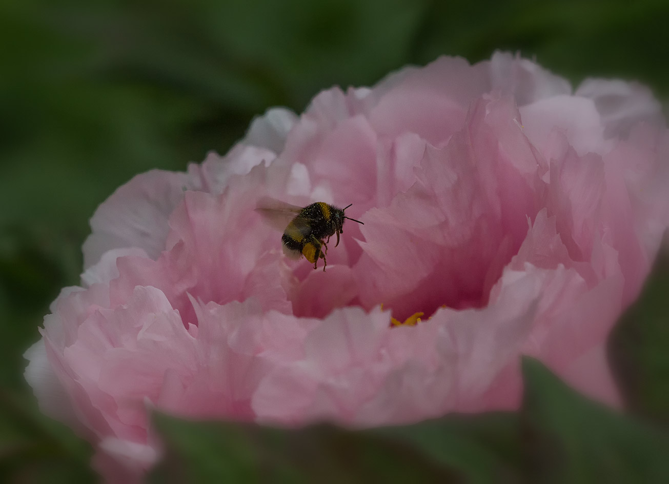 Dunkle Erdhummel sammel Pollen in den Blüten einer Rosa Pfingstrose, 16. Mai 2017.