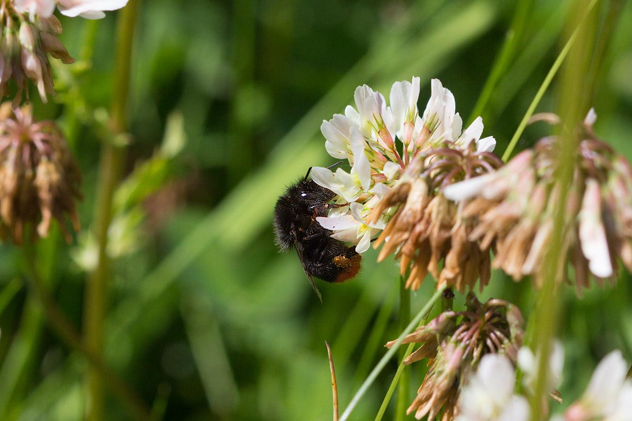 Arbeiterin der Steinhummel (Bombus lapidarius) sammelt Pollen an Weißklee, 14. Juni 2017.