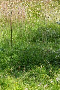 Steinhummelnest im Rasen, 21. Juni 2017.
