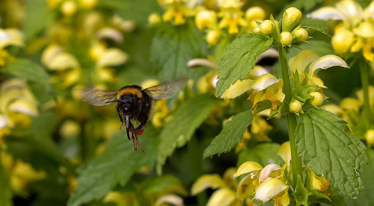 Königin der Gartenhummel (Bombus hortorum) sammelt Pollen in Goldnesseln (Lamium galeobdolon), 27. April 2018.