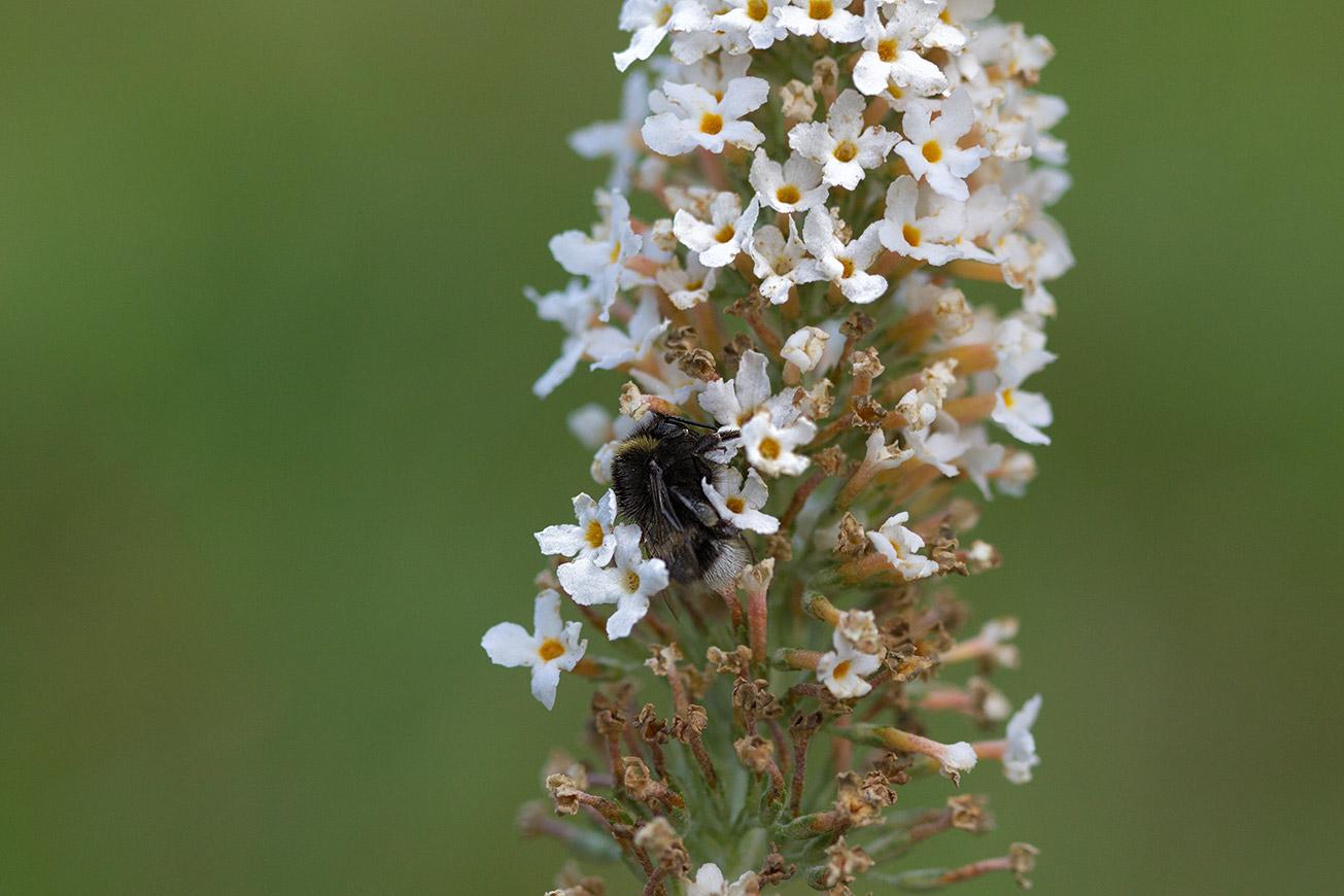 Arbeiterin der Dunklen Erdhummel (Bombus terrestris) in den Blüten eines weißen Sommerflieders, 22. Juli 2018.