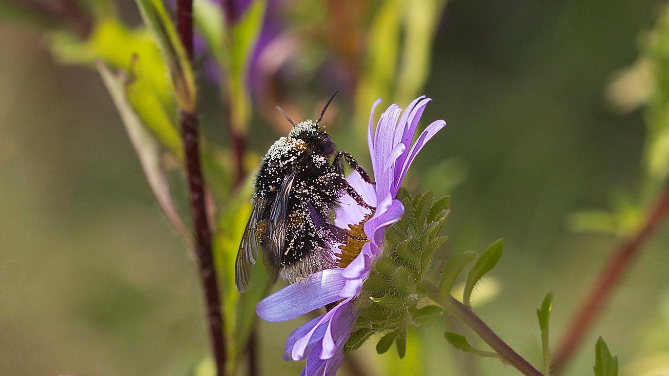 Pollenbestäubte Jungkönigin der Dunklen Erdhummel (Bombus terrestris) in Blüte einer Sommeraster, 4. September 2018.