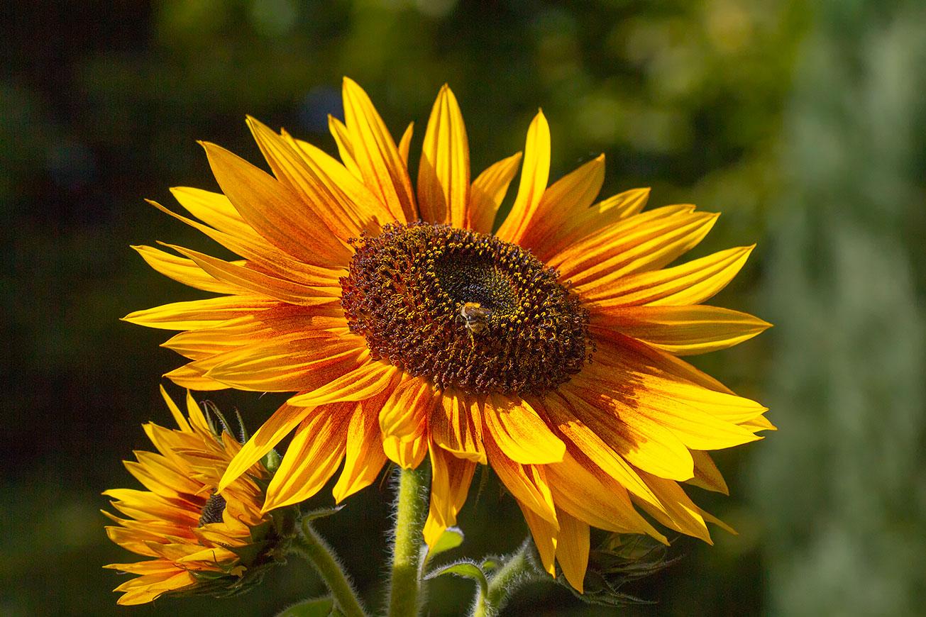 Winzige Arbeiterin der Ackerhummel (Bombus pascuorum) in Blüte einer Sonnenblume, 29. September 2018.