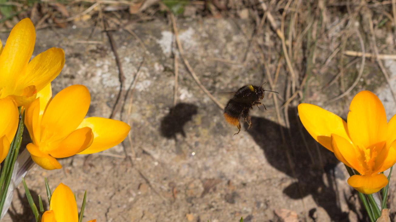 Königin der Wiesenhummel (Bombus pratorum) fliegt am 25. Februar 2019 die Blüten der Krokusse an.