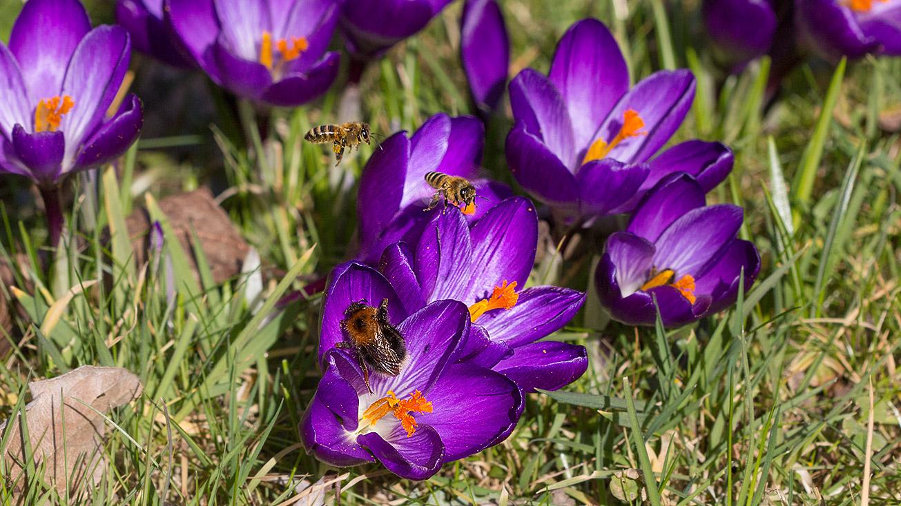 Königin der Baumhummel (Bombus hypnorum) gemeinsam mit Honigbienen in Krokusblüten, 25. Februar 2019