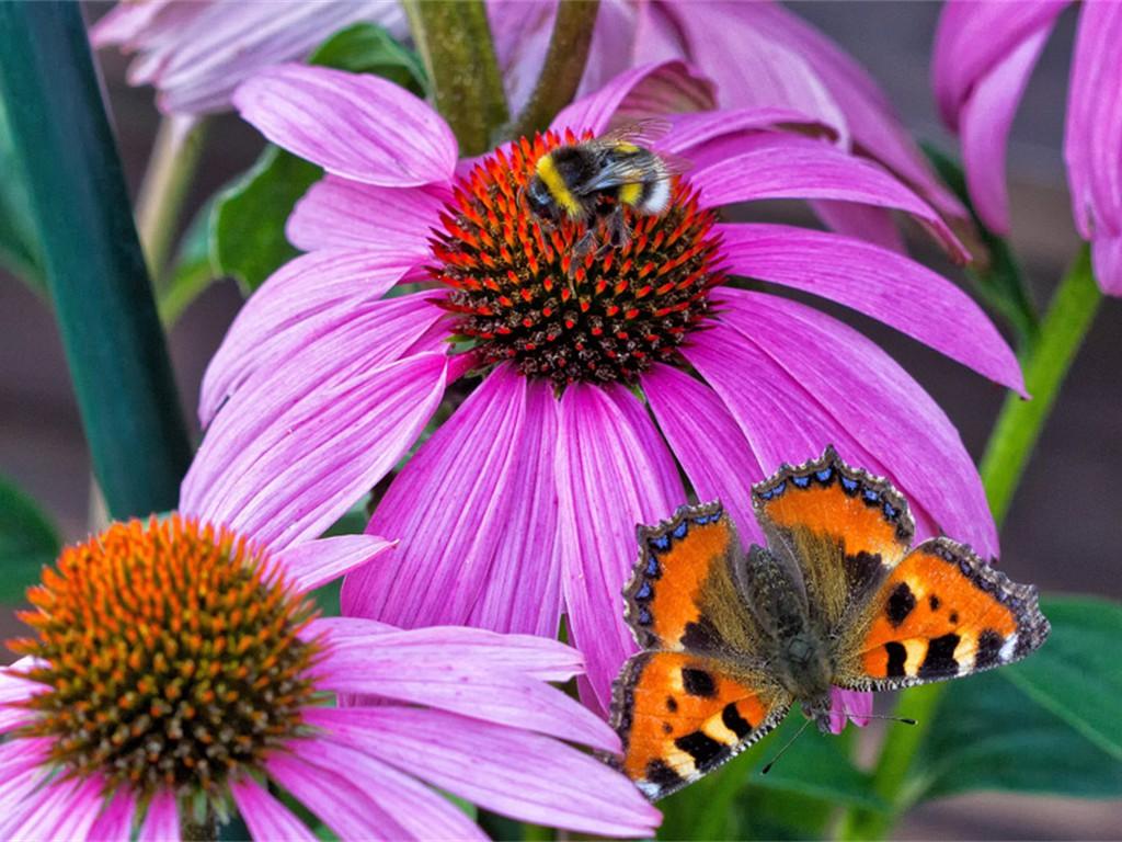 Erdhummels Sonnenbad - noch hält der Schmetterling Abstand